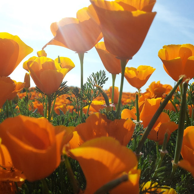 California Poppy Tincture (Eschscholzia californica)