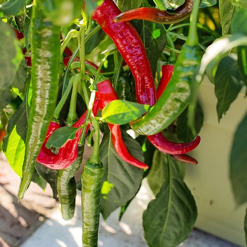 Chili Pepper Seeds - Cayenne (Capsicum annuum) Organic