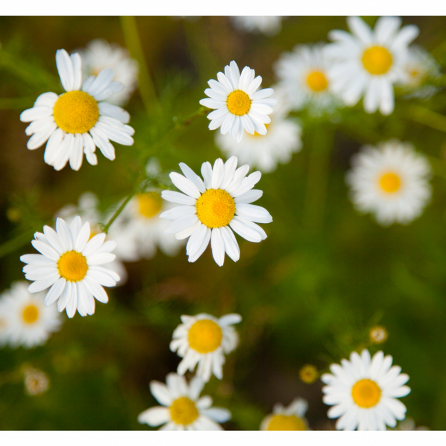 Chamomile Seeds - German (Matricaria chamomilla) BEST BUDS PACK companion plant seeds