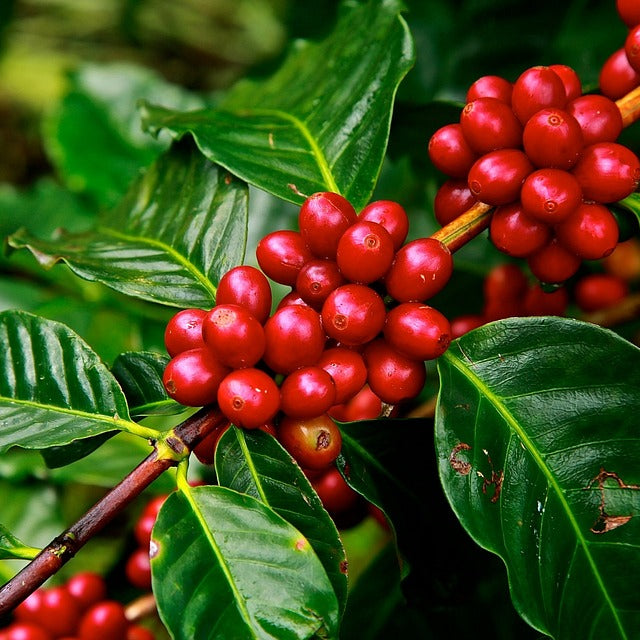 Coffee (Coffea arabica) Organic Live Coffee Plant