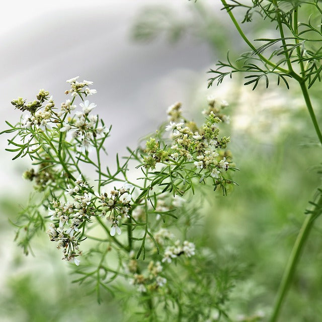 Coriander Seeds (Coriandrum sativum) BEST BUDS PACK companion plant seeds
