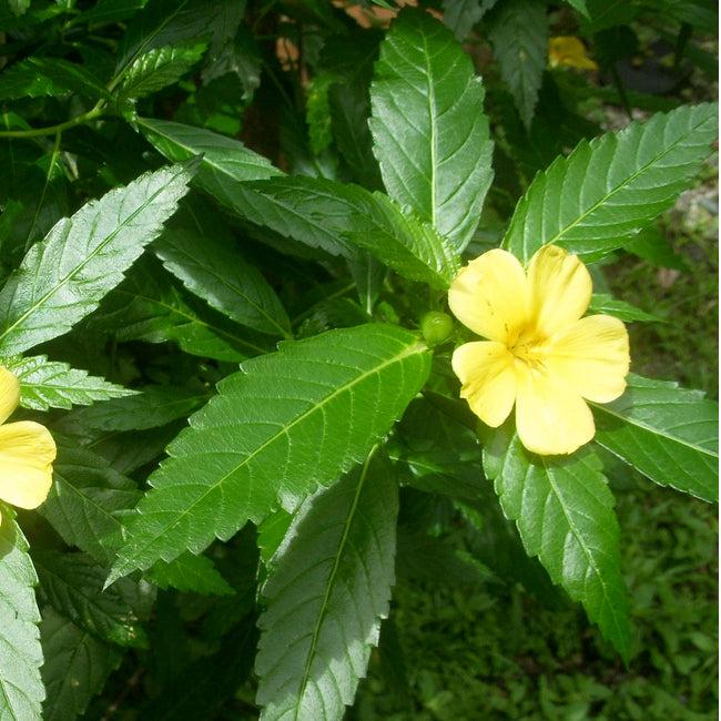 Damiana Tincture (Turnera diffusa) 10ml