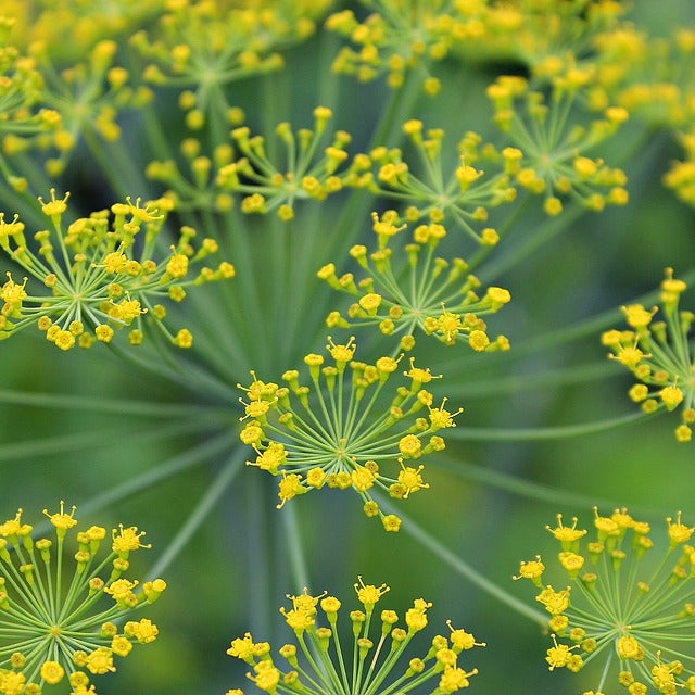 Dill Seeds (Anethum graveolens) Companion Planting Pack