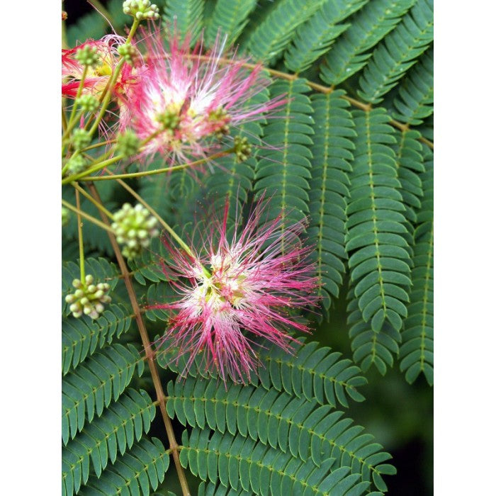 Happiness Tree (Albizia julibrissin) 1 X Organic Pink Mimosa, Persian Silk Tree