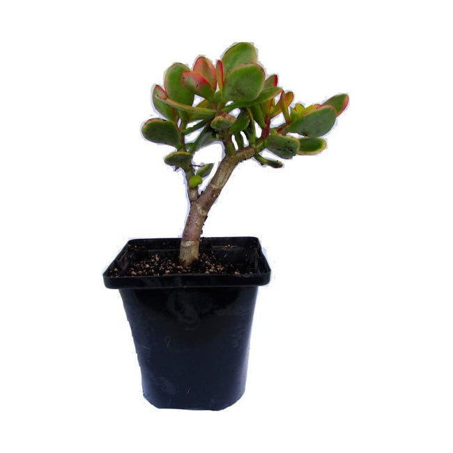 Jade - Money Plant (Crassula ovata) Small Live Potted Succluent