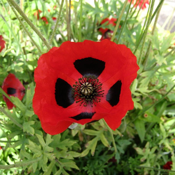 Poppy Seeds - Ladybird Poppy (Papaver commutatum)