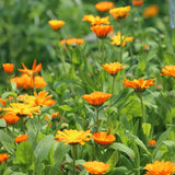 Marigold Seeds (Calendula officinalis) Best Buds Companion Planting Pack
