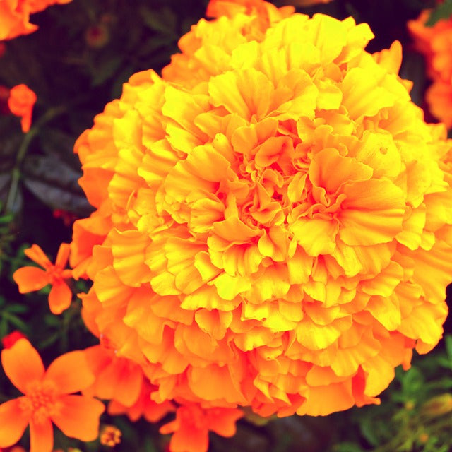 Mexican Marigold Seeds (Tagetes erecta)