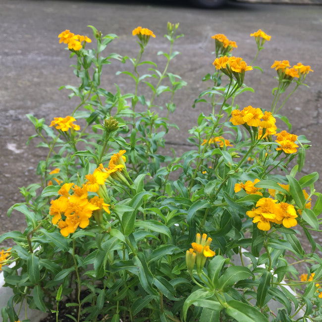 Cloud Herb Seeds (Tagetes lucida)
