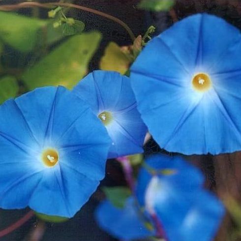 Morning Glory Seeds - Heavenly Blues (Ipomea Tricolor)
