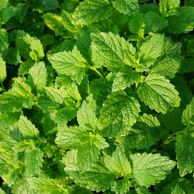 Peppermint Seeds (Mentha piperita) Companion Planting Pack