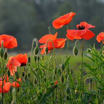 Poppy Seeds - Flanders Red Poppy (Papaver rhoeas)