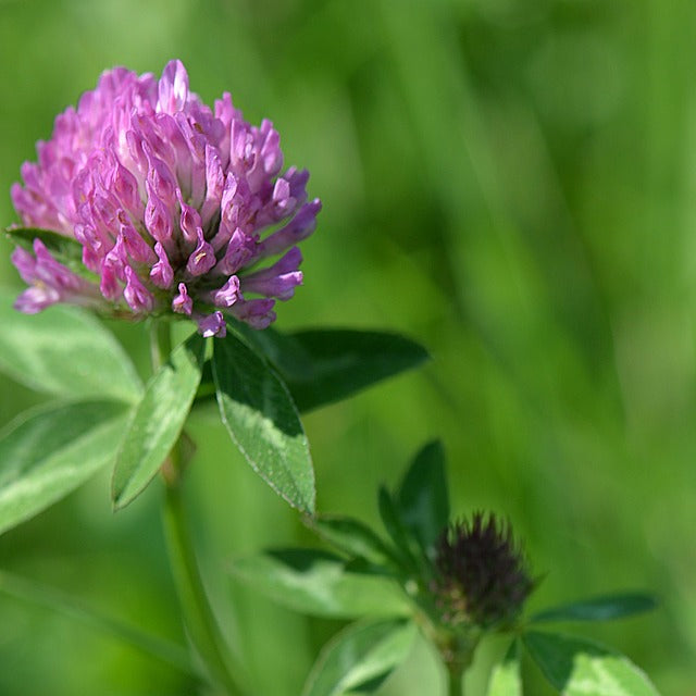 Red Clover Seeds (Trifolium pratense) Companion Planting Pack