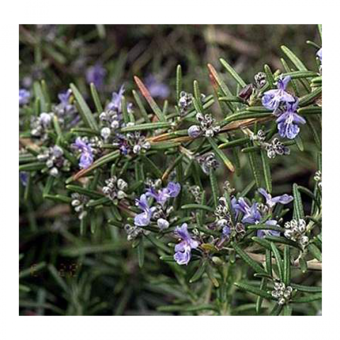 Rosemary Seeds (Rosmarinus officinalis) Best Buds Companion Planting Pack