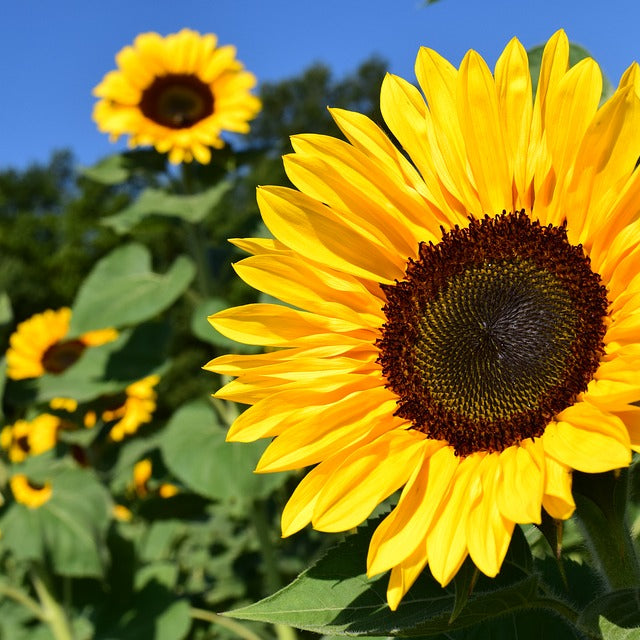 Sunflower Seeds (Helianthus annuus) Companion Planting Pack