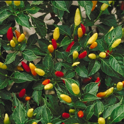 Chili Pepper Seeds - Tabasco (Capsicum frutescens)