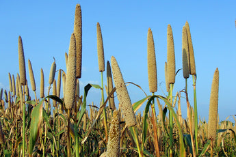 <b>THE MILLETS ARE BACK AS NEW AGE CEREALS : THE INDIA SCENARIO</b>