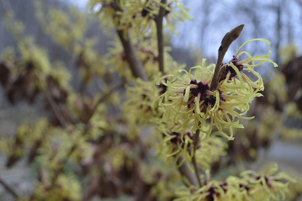Responsibly harvested witch hazel bark