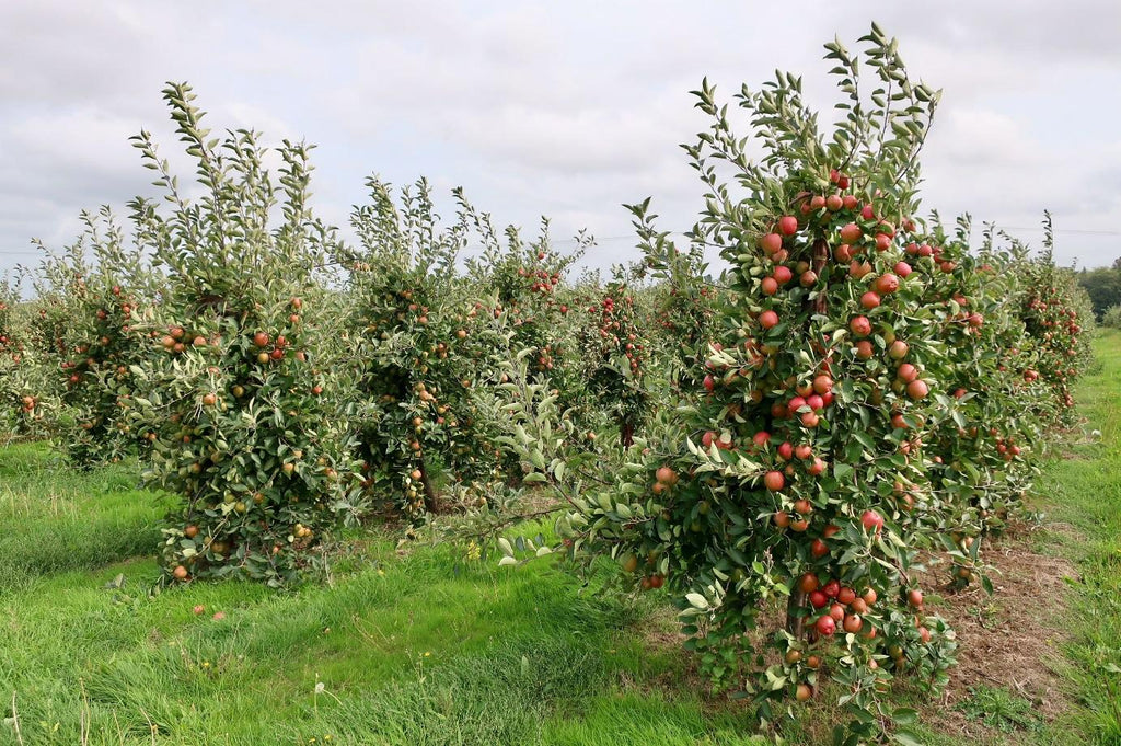 kentish-pip-apples