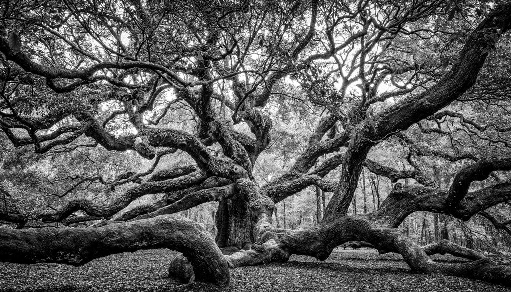 Angel Oak Tree in B&W