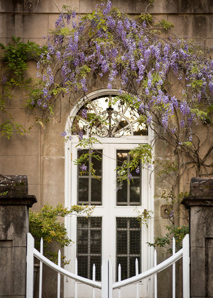 Wisteria at 24 Meeting Street