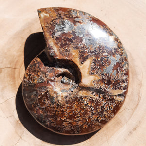 Ammonite Shell ~ Medium