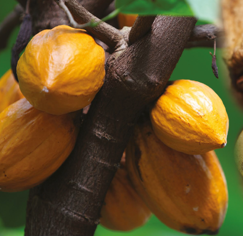 The Importance of the Cacao Farmer and Producing Chocolate