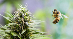 GOOD NEWS FRIDAY: Honeybee Hash, Cannabis Improving Bee Populations
