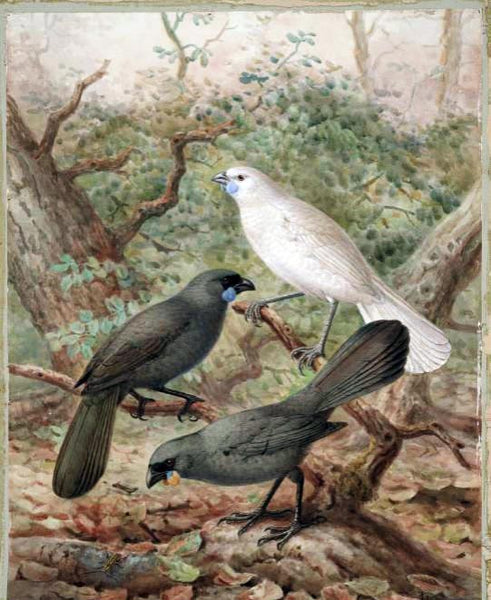 Kokako endangered bird of NZ
