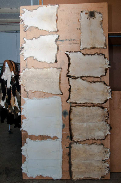Possum fur skins nailed to a board for processing