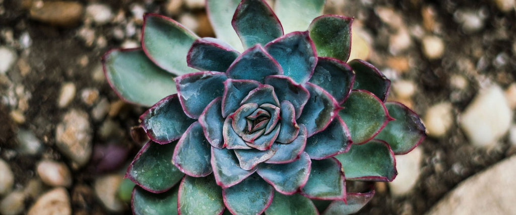 How to Water your Succulent