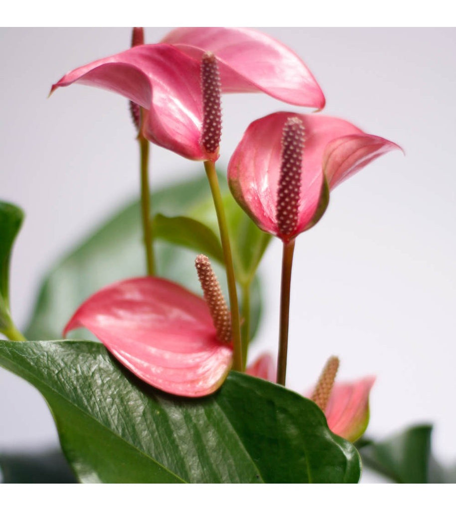 Anthurium Care Guide