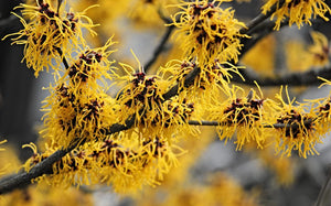 picture of witch hazel