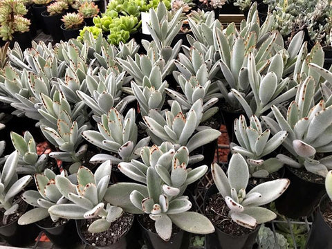 Kalanchoe Tomentosa (Panda Plant) cutting (set of 4)