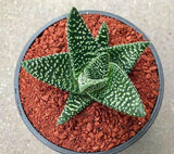 Gasteraloe Royal highness (M)