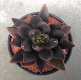 Echeveria Black Knight succulent plant