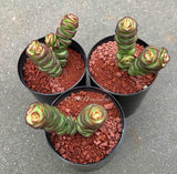 Crassula Baby Necklace succulent plant