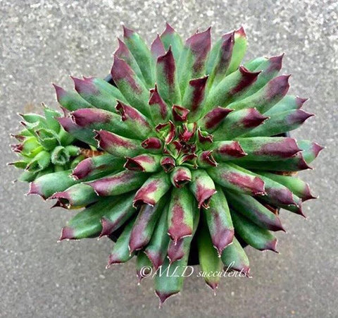 Sempervivum Oddity (S)