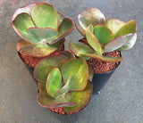 Echeveria Big Red succulent plant