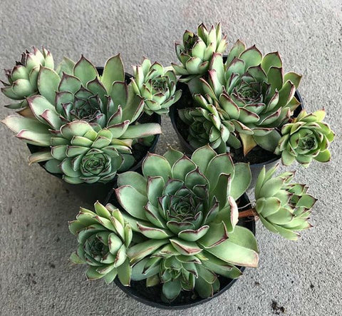 Sempervivum Mahogany with offsets succulent plant
