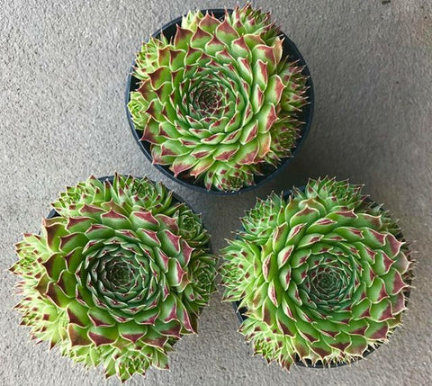 Sempervivum Sir William Lawrence cluster succulent plant