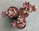 Sedum Bronze Delight