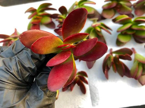 Crassula Atropurpurea var. Atropurpurea cuttings (set of 10)