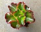 Echeveria Katella Red Succulent Plant