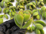 Cotyledon Tomentosa Bear's Paws cutting (set of 4)