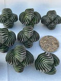 Crassula Buddha's Temple cutting (L) (x1)