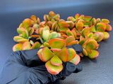 Crassula Ovata minima cutting (set of 3)