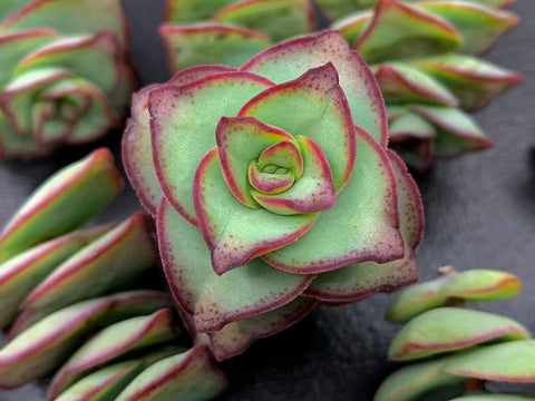 Crassula perforata 'Conjuncta' (Large form) cutting (set of 3)
