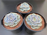 Echeveria Blue Surprise AKA Andrew's Form succulent plant