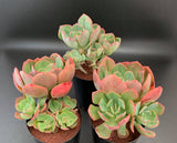 Echeveria Briar Rose with offsets succulent plant